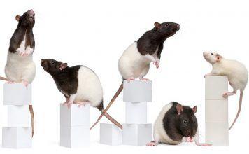Average rat lifespan