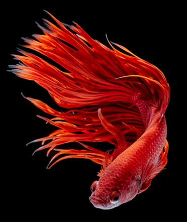 A gorgeous red betta fish doing her thing.