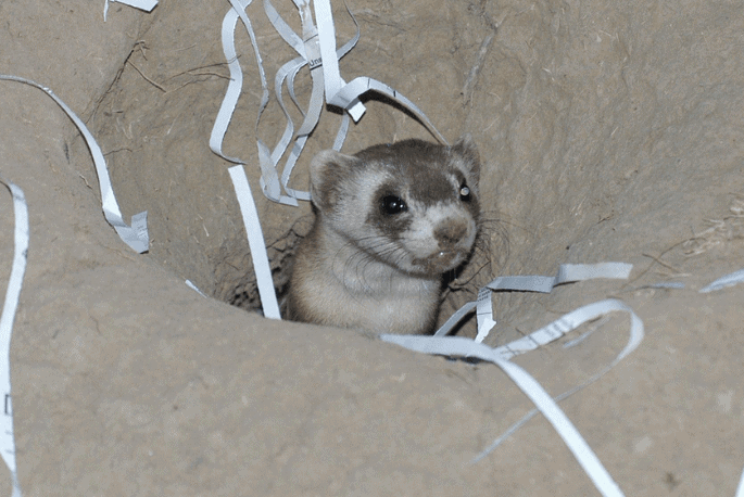 black footed ferret in burrow