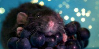 Can rats eat grapes?
