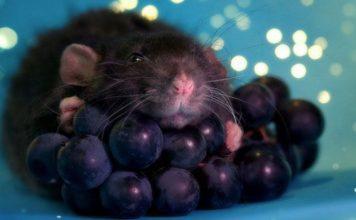 Can rats eat grapes?