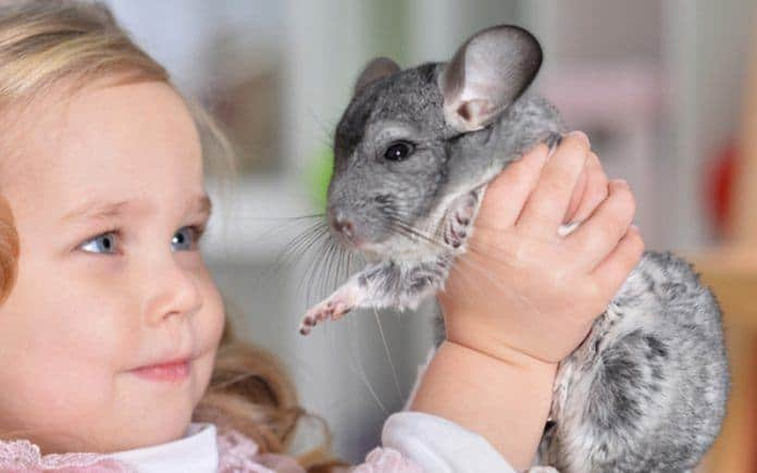 Chinchilla adoption