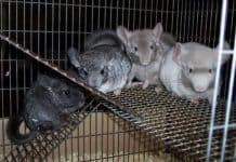 Chinchilla Breeders