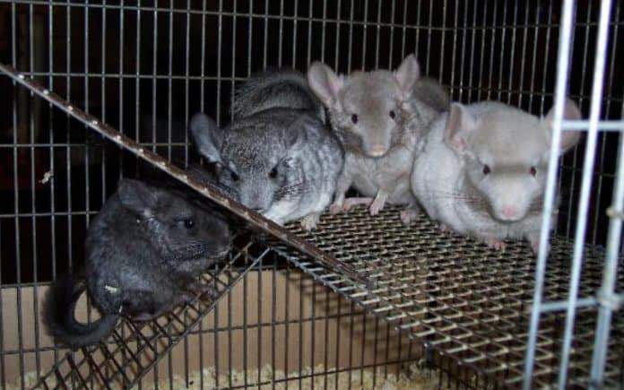 Chinchilla Breeders