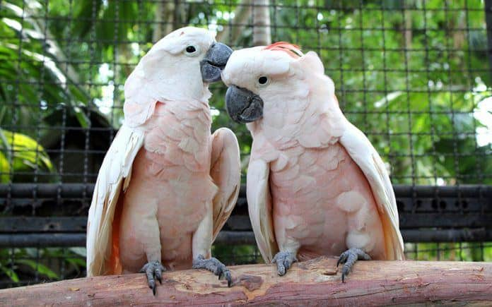 Cockatoo as pets?