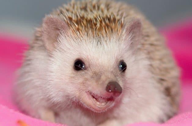 Shy little hedgehog