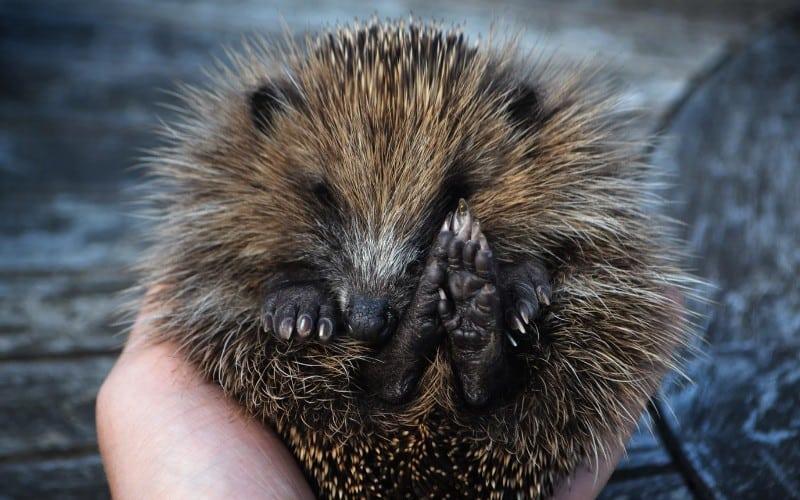 Hedgehog Diet