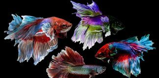 How long do betta fish live?