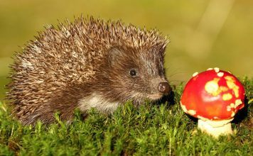 Caring for a cute little hedgehog