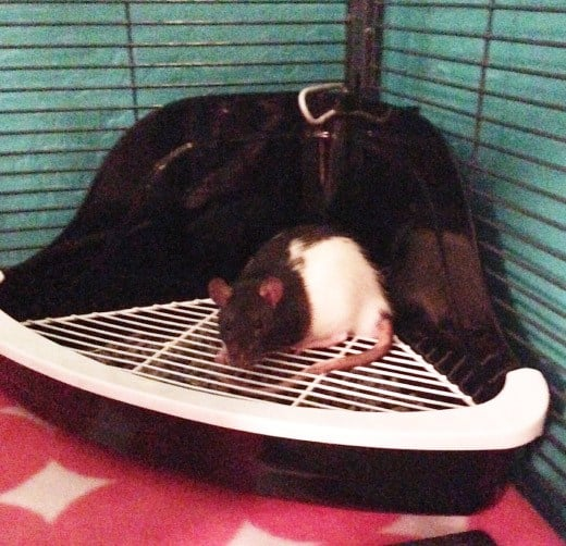Litter training rats