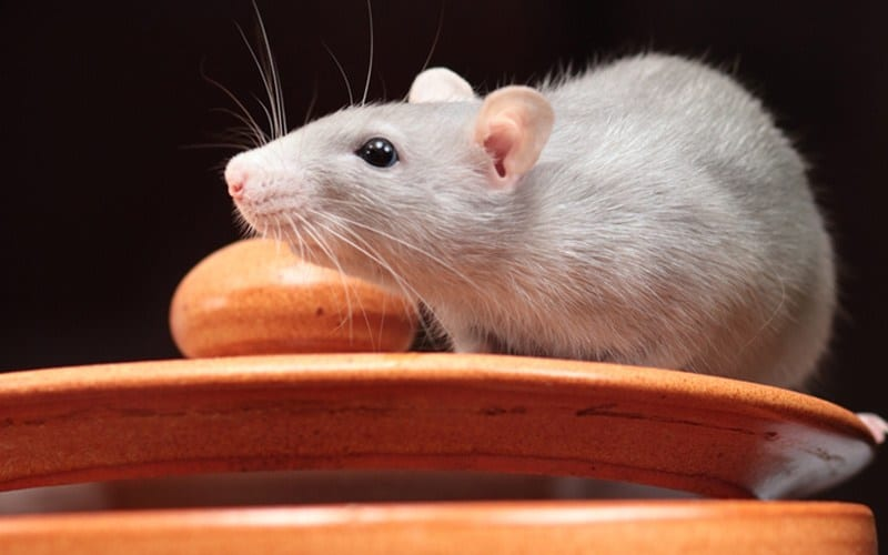 Parasite prevention in rats
