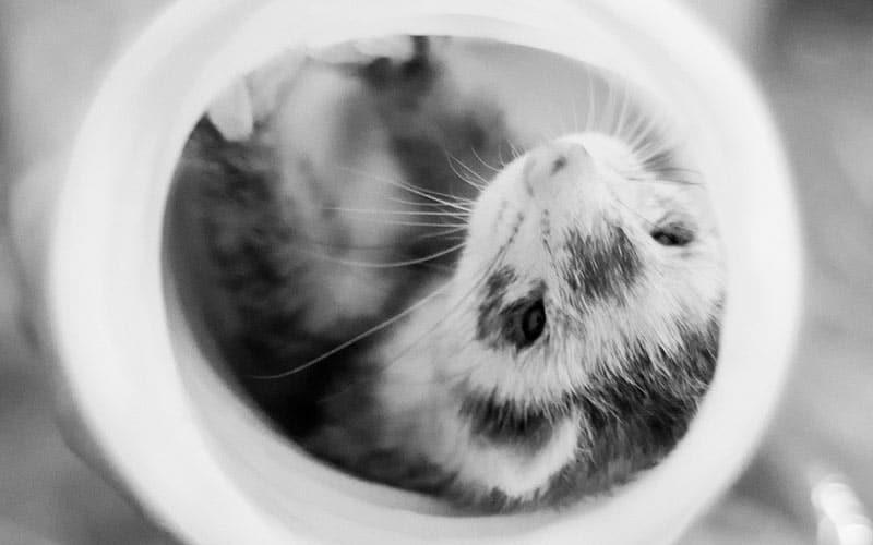A domesticated pet ferret having fun!
