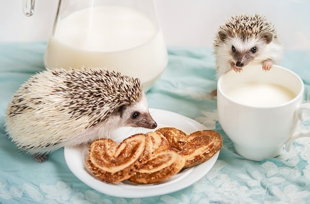 Pet hedgehogs with snacks they can't eat