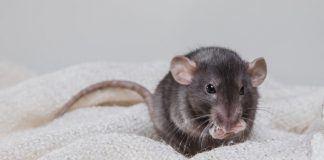 Rat Sounds