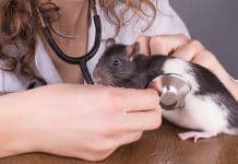 Vet checking for Rat Parasites