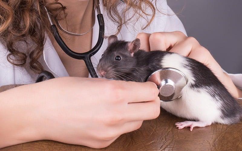 Vet checking for Rat Parasites