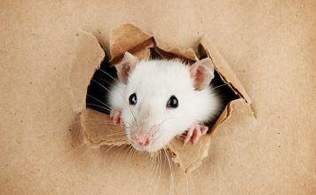 Spay or neuter pet rats