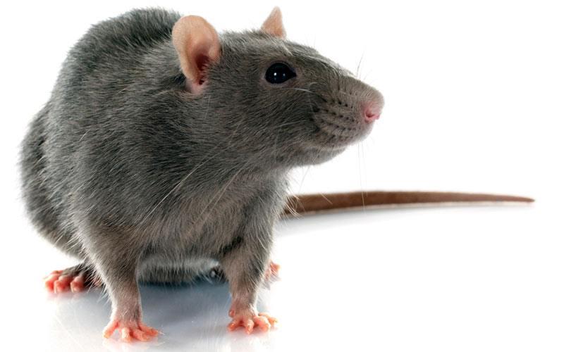 Spaying Rats