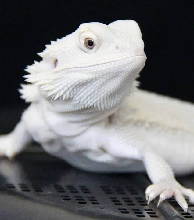 A beautiful white bearded dragon.