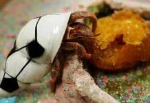 what do pet hermit crabs eat