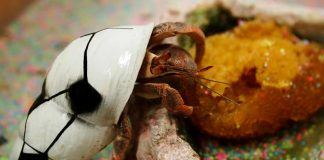 what do pet hermit crabs eat