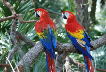 2 Red Macaw Birds