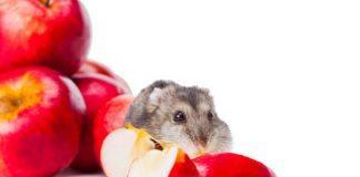 Djungarian Hamster eating Red Apple