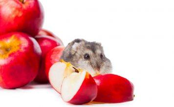 Djungarian Hamster eating Red Apple