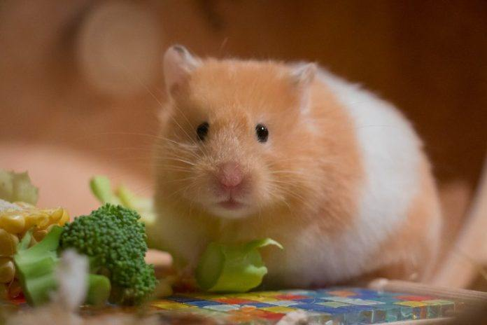 What do Hamsters Eat? A picture of a hamster eating.
