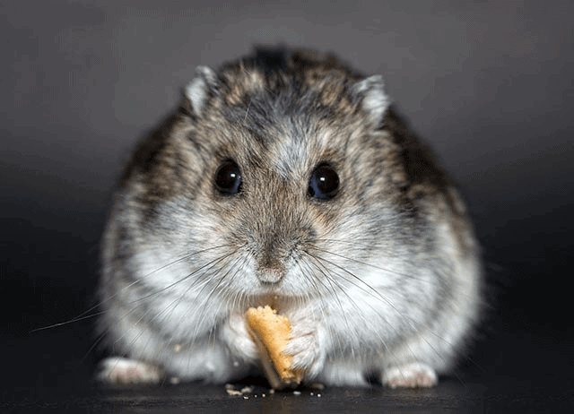 what is hamster lifespan