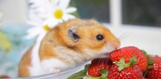 Hamster Nibbling on a Bowl of Strawberries