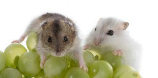 Two Djungarian Hamsters on a pile of green grapes
