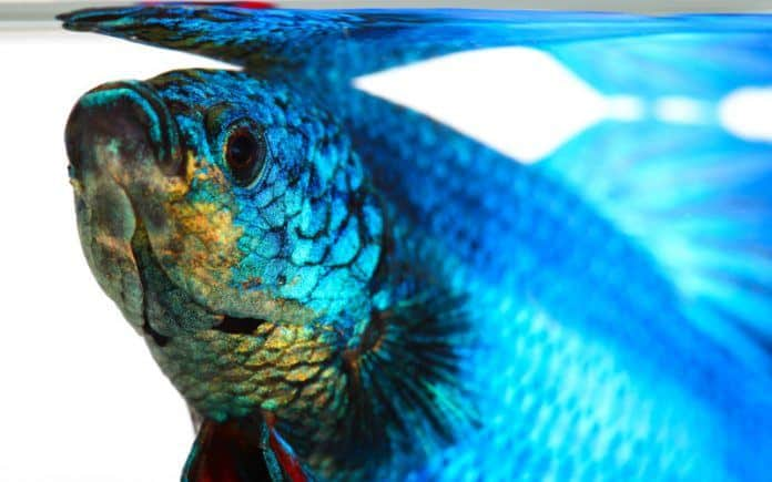 best freshwater fish for beginners