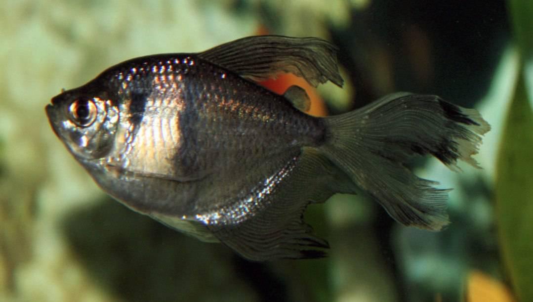 best freshwater fish Black skirt Tetra