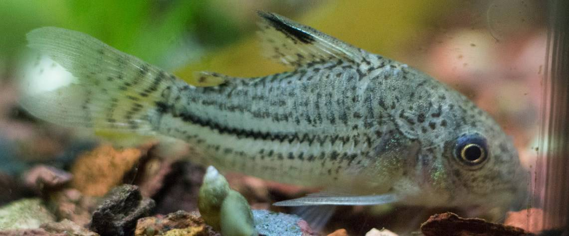Cory Catfish lifespan