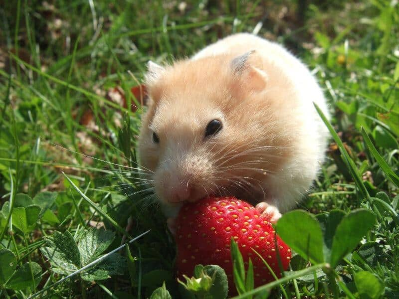 Hamster Eating Strawberry in Grassy Field