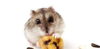 hamster-holding-a-old-banana