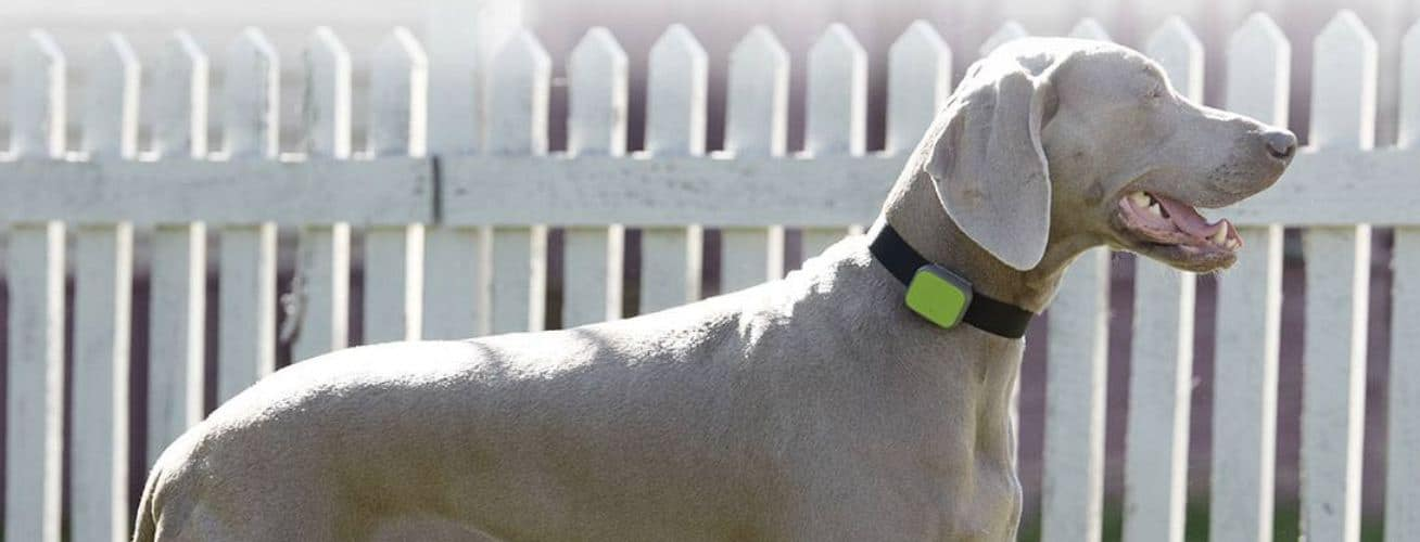 dog wearing a Whistle 3 GPS pet tracking collar