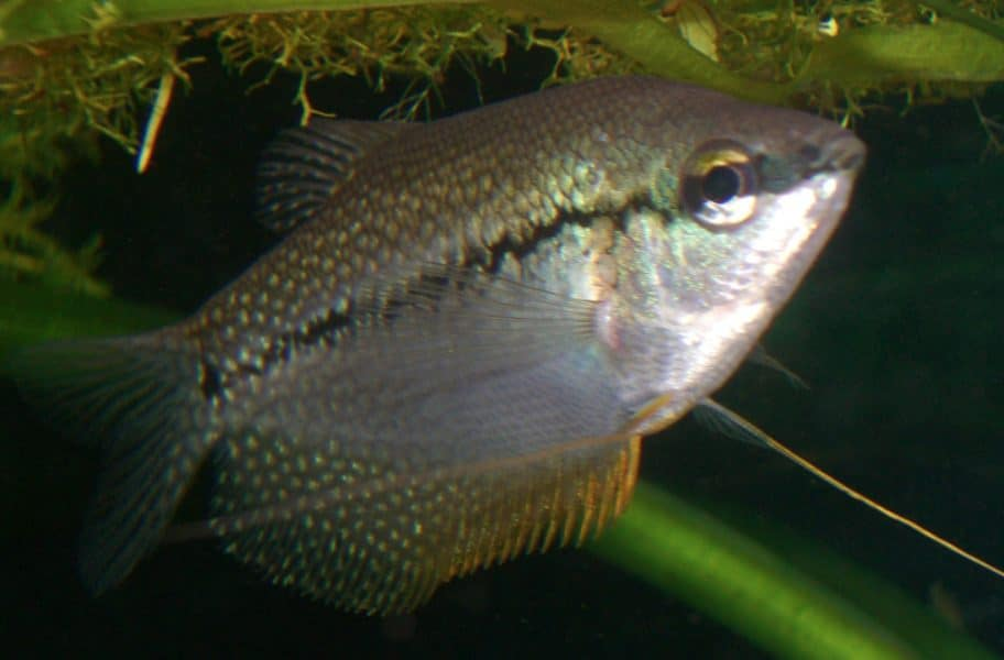 The Pearl Gourami fish and why it's good for freshwater beginners: