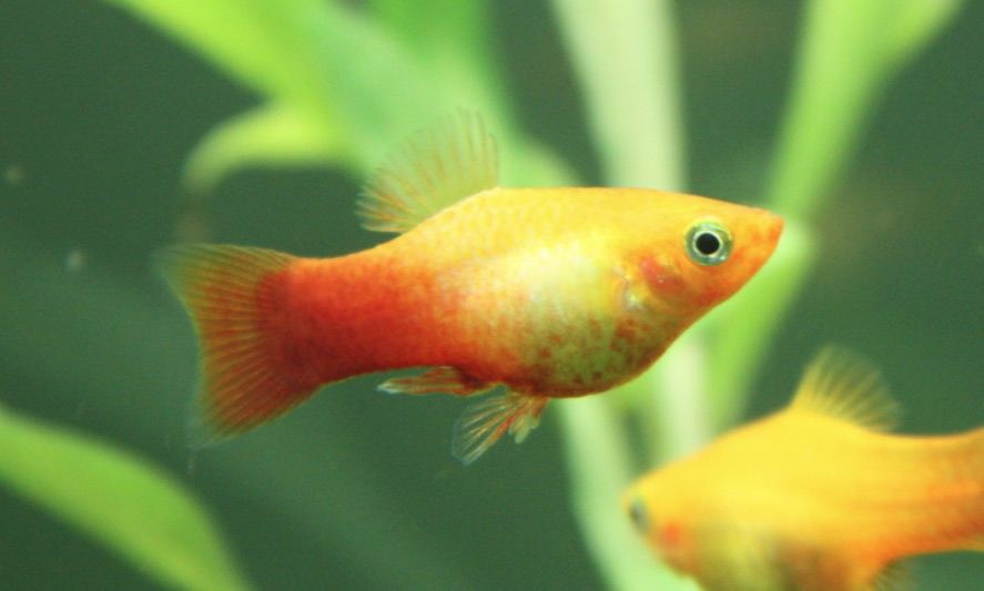 How long do platy live?
