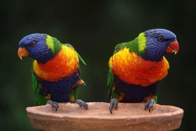 2 Rainbow Lorrikeets