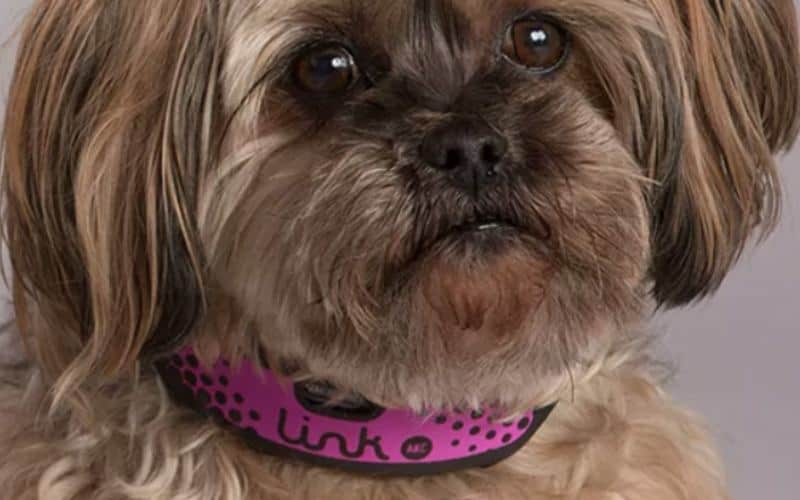 dog wearing smaller size link akc gps collar
