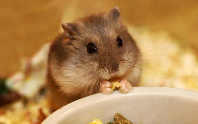 What is the cost of owning a hamster?