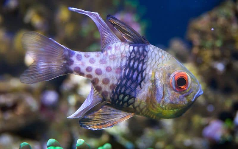 Pajama Cardinalfish - popular beginners fish