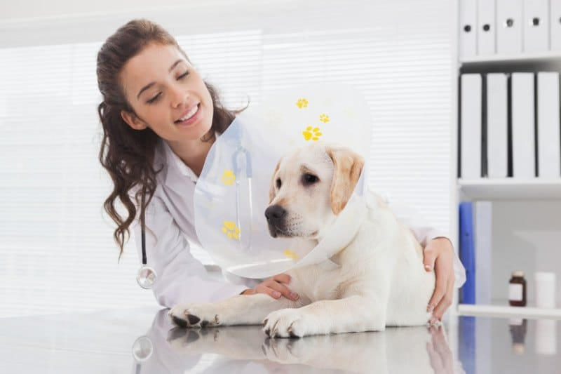 Smiling Vet and Dog Wearing a Cone (Elisabethan Collar)