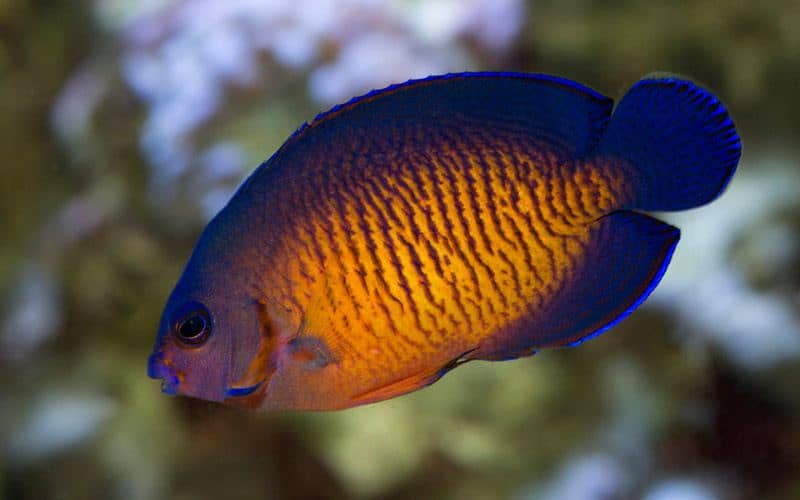 Coral Beauty Angelfish - ideal saltwater fish for a beginner