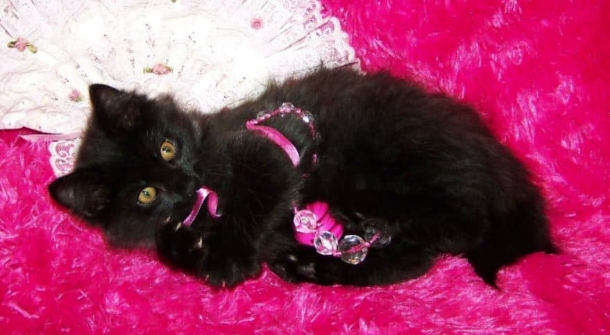 black american bobtail - a black cat breed