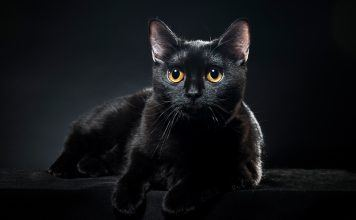 Let's talk about black cat breeds, or just look at the pictures...