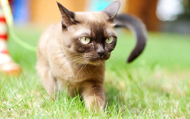 Burmese cats lifespan - one of the longest living cat breeds