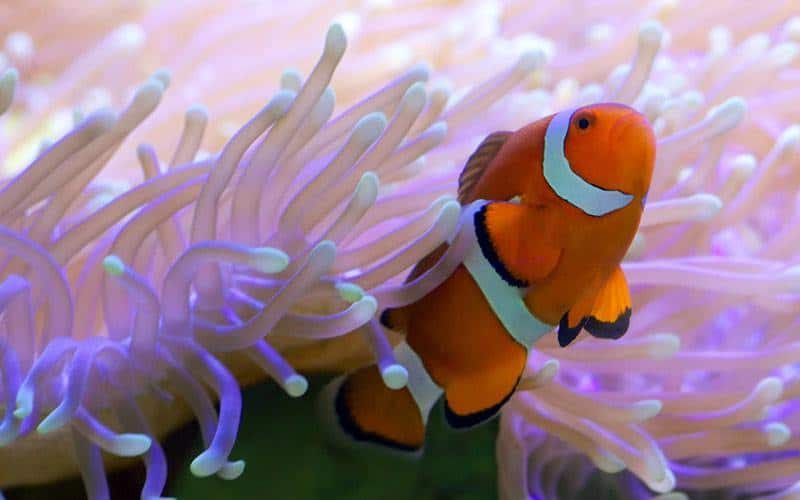 Saltwater clownfish - good beginner saltwater fish